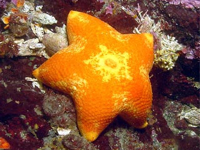 cushion sea star vic high