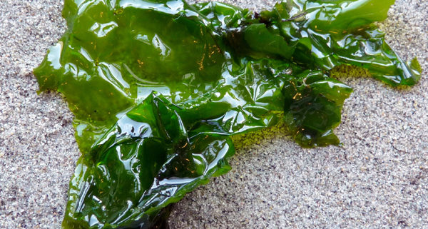 Sea Lettuce Vic High